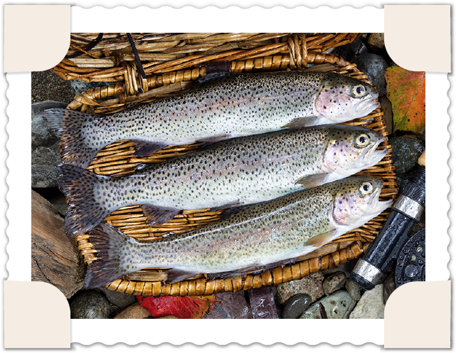 Rainbow trout in basket